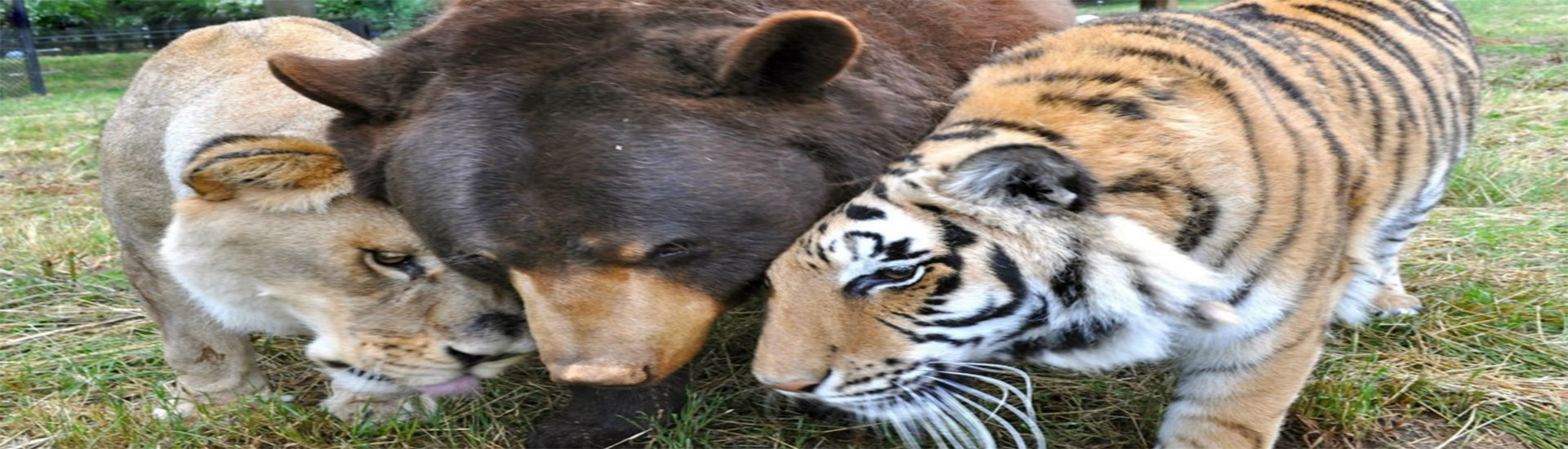 A Lion Bear And Tiger Are The Best Of Friends The Paw Report - Lion tiger bear best friends